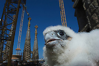 Peregrine falcon (Falco peregrinus) in Barcelona, nesting on the Cathedral of Gaudi the Sagrada familia.