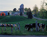 Holsteins waiting for the mail, farm in Fairfield County, Ohio.