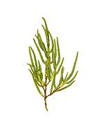 Long-spiked Glasswort - Salicornia dolichostachya