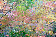 Autumn Maples Abstract, Washington State