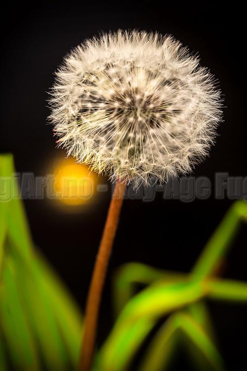 Dandelion in green lighted grass   Løvetann i grønt belyst gress