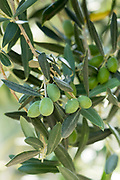 Nocellara del Belice Sicilian green olives growing for extra virgin olive oil production at Azienda Agricola Mandranova at Palma di Montechiaro in Sicily
