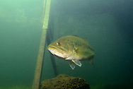 Largemouth Bass under boat dock<br /> <br /> Engbretson Underwater Photography