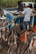 Galapagos sea lion (Zalophus wollebaeki) & Brown Pelicans being fed fish guts from fisherman in fishmarket (Pelecanus occidentalis urinator)<br /> Puerto Ayora, Santa Cruz Island, GALAPAGOS ISLANDS<br /> ECUADOR.  South America<br /> These birds are relatives of the frigate birds. However they use their pouches for trapping water and with luck some fish. Brown pelicans are the smallest of the family and the only pelicans which are truly marine and also together with the Peruvian pelicans that plunge-dive to catch their food. They nest in scattered colonies throughout the archipelago. Breeding occurs in any month, although particular colonies are synchronised.