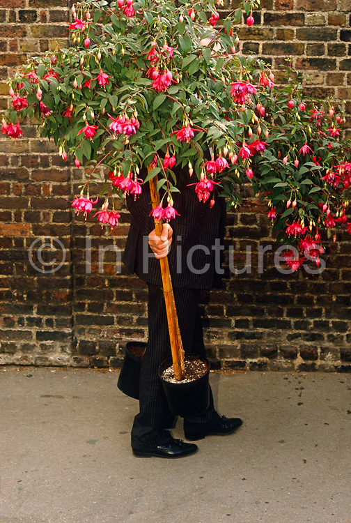 Grasping a Fuchsia shrub in his right hand, a man dressed in a dark pinstripe suit walks home along a Chelsea street having just left the Chelsea Flower Show on the last day of the show when members of the Royal Horticultural Society and the general public are invited to purchase those plants and shrubs that have been displayed all week. It is the perfect summer May afternoon in west London, when lovers of horticulture have gathered from across the country to admire the ultimate in plants and flowers in the grounds of Chelsea Hospital. With its pink blooms hanging from the main bulk of the shrub, the Fuchsia is resplendent, a scene of quintessential English gardens and long summer days.