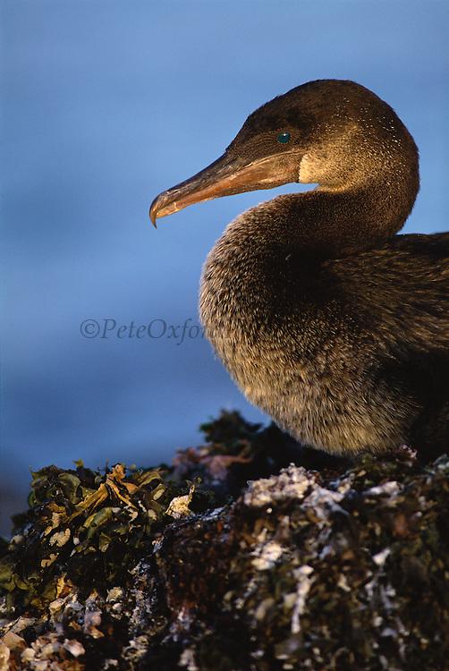 Flightless Cormorant<br /> Phalacrocorax  harrisi<br /> Fernandina Island, Galapagos Islands, ECUADOR S. America<br /> ENDEMIC