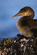 Flightless Cormorant<br /> Phalacrocorax  harrisi<br /> Fernandina Island, Galapagos Islands, ECUADOR S. America<br /> ENDEMIC