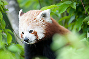 Red Panda, Ailurus fulgens, Captive, China, lesser panda and red cat-bear, is a small arboreal mammal native to the eastern Himalayas and southwestern China, Vulnerable by IUCN