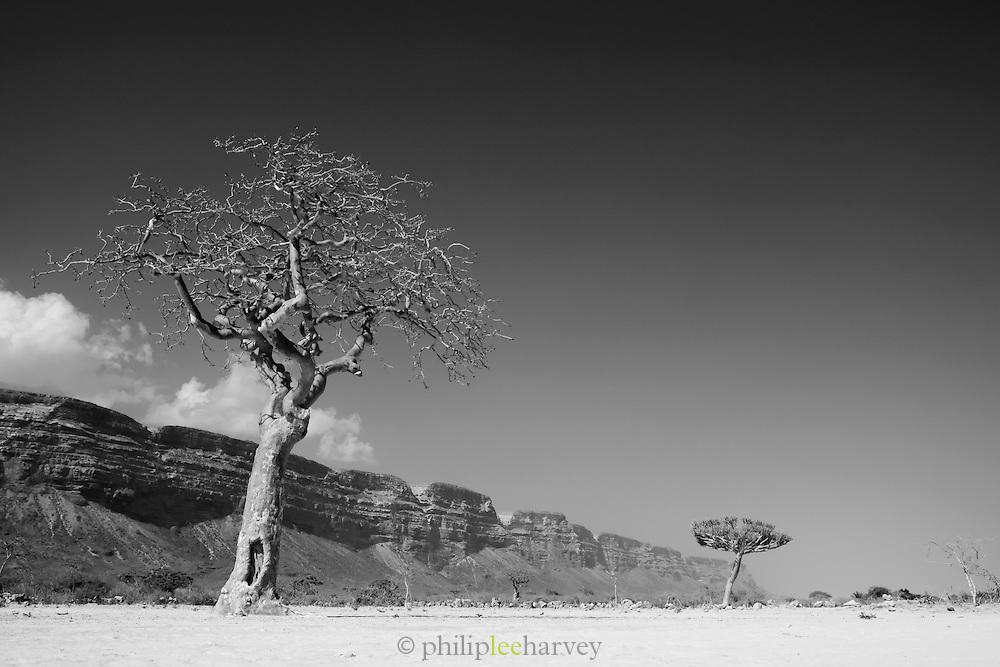 Trees in the barren landscape at Qa'arah, Socotra, Yemen