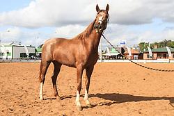 Grande Campeão da raça Mangalarga na 38ª Expointer, que ocorrerá entre 29 de agosto e 06 de setembro de 2015 no Parque de Exposições Assis Brasil, em Esteio. FOTO: Vilmar da Rosa/ Agência Preview
