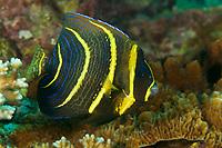 Cortez Angelfish (Pomacanthus zonipectus)<br />juvenile<br /><br />Coiba Island<br />Coiba National Park<br />Panama<br /><br />Mona Lisa dive site