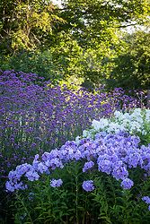 Phlox paniculata 'Franz Schubert' AGM, Phlox paniculata 'David' AGM and Verbena bonariensis -Argentinian vervain.