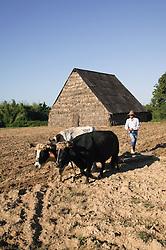 Using oxen to plough a field near Pinar del Rio; Cuba,