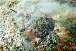 horseshoe crab, burying itself for camouflage, Limulus polyphemus, Florida Bay, Everglades National Park, Florida, Gulf of Mexico