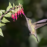 Sephanoides sephaniodes, Chile, January 2019