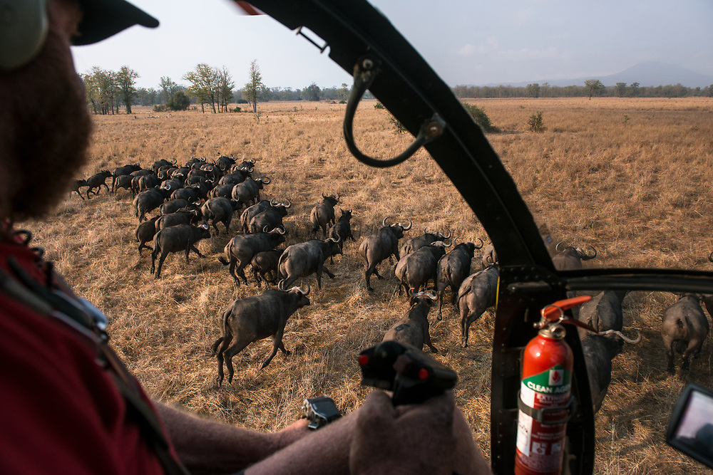 African buffalo (Syncerus caffer) & helicopter<br /> Liwonde National Park, MALAWI, Africa<br /> To be tested by an international veterinary team testing buffalo for foot-and-mouth disease in a trans-border veterinary effort. Tests include a 'Probang' throat scrape and blood test. Chopper used as a darting platform. Pilot Barney O'Hara