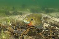 Bluegill (male guarding nest)<br /> <br /> Engbretson Underwater Photography