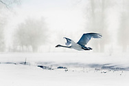 Flying Trumpeter Swan on a frigid winter day in Swan Valley Idaho