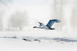 Flying Trumpeter Swan on a frigid winter day in Swan Valley Idaho