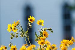 Engelmann's daisy at historic Frankford Church on native Blackland Prairie at the Frankfurt Prairie Preserve, Dallas Texas, USA. (Tentative ID).