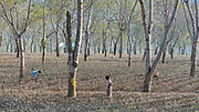 Tee plantation in Assam, north-east India.