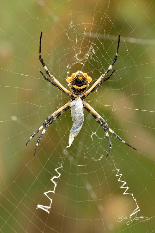 Argiope spider in her web