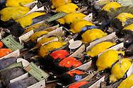 Prepped bird skins, tanagers (Thraupidae), several South American species, the Senckenberg Natural History Collection Dresden..Praeparierte Vogelbaelge, Tangaren (Thraupidae), verschiedene suedamerikanische Gattungen, Senckenberg Naturhistorische Sammlungen Dresden