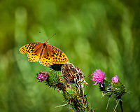 Great Spangled Fritillary Butterfly Feeding on Thistle. Image taken with a Fuji X-T1 camera and 100-400 mm OIS lens.