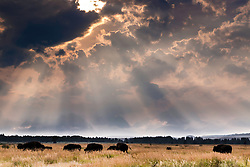 Afternoon thunderstorm, light beams, grazing bison, Grand Teton National Park.  The magic of bad weather is a nature lovers best friend.  Here I love how the muted majesty of the Grand Tetons is hinted at through the vail of the storm of dancing light and rain. Crepuscular rays are such a treat wherever you find them.