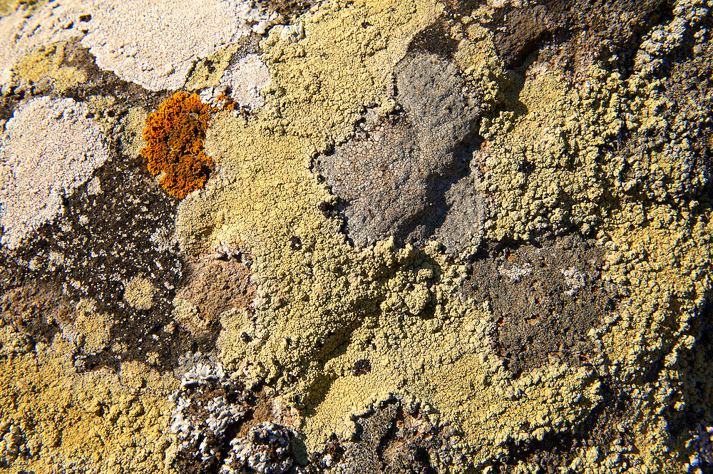 Lichens growing on rocks