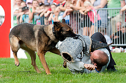 Rotherham Show in Clifton Park on Sunday <br /> Rockwood Dog Display Team use one of their Alsatians to demonstrate the type of dog attack work they have performed for film and TV<br /> 9 September 2012<br /> Image © Paul David Drabble
