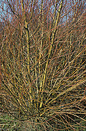 White Willow Salix alba Salicaceae Height to 25m<br /> Broadly columnar tree. Bark Dark grey. Shoots Yellowish grey, downy at first. Leaves Blue-grey. Reproductive parts Male catkins small and ovoid. Female catkins longer and green. Status Common in damp, lowland habitats.