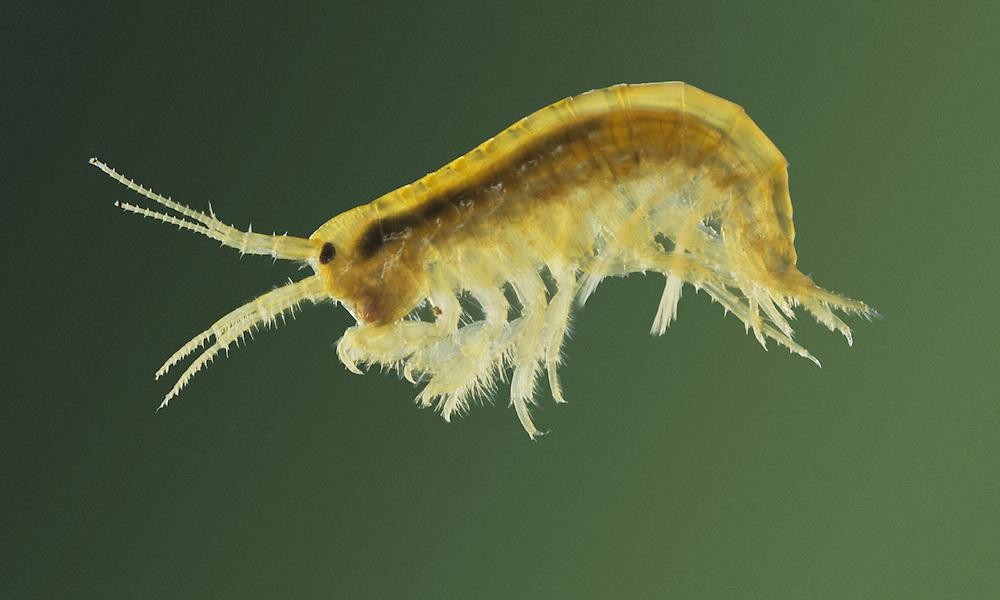 Freshwater Shrimp - Gammarus pulex