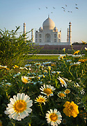 Taj Mahal in the distance with daisies in the foreground as seen from across the Yamuna river at sunset