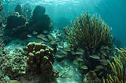 Mahogany Snapper (Lutjanus mahogoni) & grunts<br /> Hol Chan Marine Reserve<br /> near Ambergris Caye and Caye Caulker<br /> Belize<br /> Central America