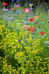 Bupleurum rotundifolium at the edge of the pictorial meadow. Corn poppies, gypsophila, cornflowers and Bishop's Flowers beyond. Papaver rhoeas, Centaurea cyanus, Gypsophila elegans, Ammi majus. (syn. Field poppy)