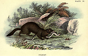 The European polecat (Mustela putorius) is a species of mustelid native to western Eurasia and North Africa. It is of a generally dark brown colour, with a pale underbelly and a dark mask across the face. Occasionally, colour mutations, including albinos and erythrists, occur. Compared to minks and other weasels – fellow members of the genus Mustela – the polecat has a shorter, more compact body; a more powerfully built skull and dentition; is less agile; and it is well known for having the characteristic ability to secrete a particularly foul-smelling liquid to mark its territory. From the book ' A hand-book to the British mammalia ' by  Richard Lydekker, 1849-1915  Published in London, by Edward Lloyd in 1896