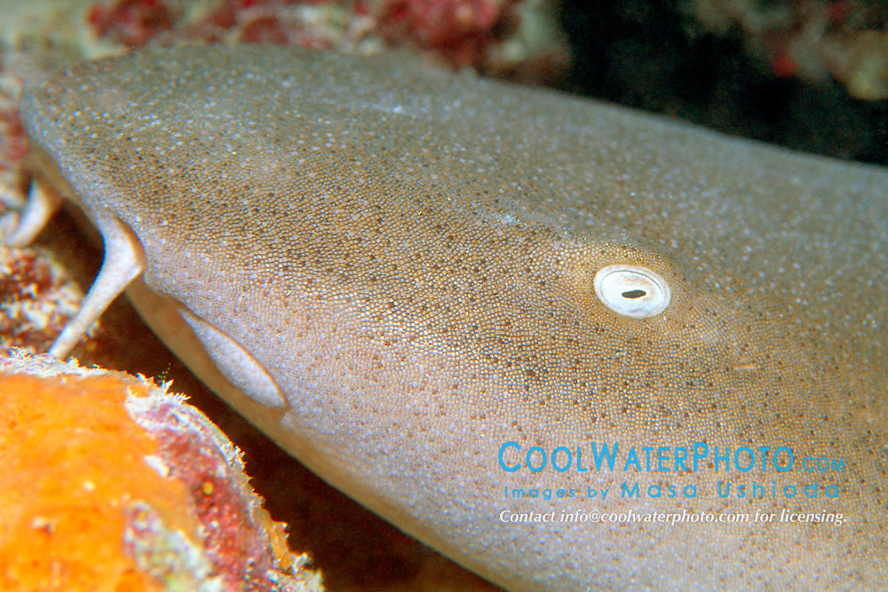nurse shark, Ginglymostoma cirratum, Key West, Florida Keys National Marine Sanctuary, Florida, Atlantic Ocean
