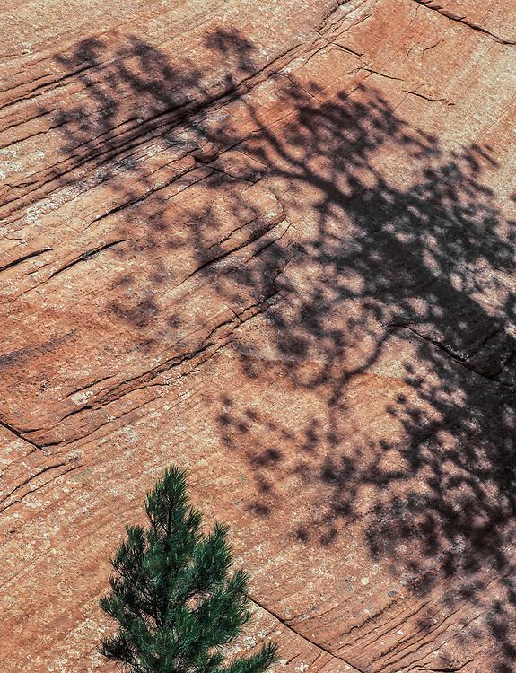 Ponderosa pine tree and shadow, spring, Zion National Park, Utah, USA