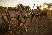 The wooden fence around a Himba village , Kaokoland, Kaokoveld, Namibia
