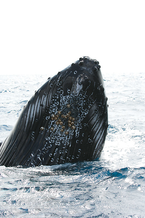 Humpback Whale (Megaptera novaeangliae) spy hopping, Caribbean Ocean.
