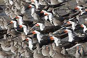 Black Skimmers and Dowitchers.(Rynchops niger & Limnodromus sp.).Back Bay  Reserve, California, USA