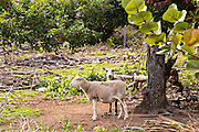 Boer goats Dunmore Town, Harbour Island, The Bahamas.