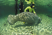 snorkeler and female Florida manatee, Trichechus manatus <br /> latirostris, showing placement of genitalia (genital opening much closer to anus than on male), Three Sisters Spring, Crystal River, Florida USA, North America, MR 268