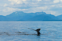 Humpback whales diving in the waters off Pinta Point, Frederick Sound, Inside Passage, Southeast Alaska