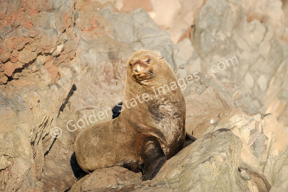 Adult fur seal lounging in the sun on the rocky shoreline of Guadalupe Island.    <br /> <br /> By the late eighteen hundreds had been hunted nearly to extinction. Still rarely seen other than at Guadalupe and San Benitos Islands Baja Mexico.    <br /> <br /> Range: Channel Islands to Cedros Island Baja Mexico    <br /> <br /> Species: Arctocephalus townsendi