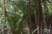 Young Nikau and Tree Fern along the Goldie Bush Walk in the Waitakare ranges, west of Auckland, New Zealand.