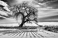 Bare Cottonwood tree, fields, snow; Co Rd 16E Loveland CO
