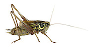 Roesel's Bush-cricket male - Metrioptera roeselii