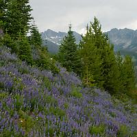 Lupine flowers and fir trees below Beehive Basin, near Big Sky, Montana.
